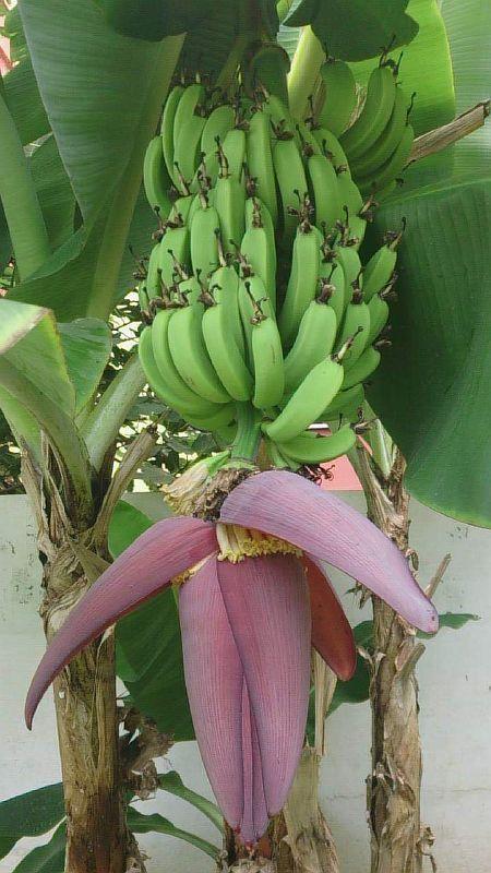 Цветок банана и плоды