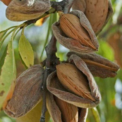 Плоды Турции Миндаль