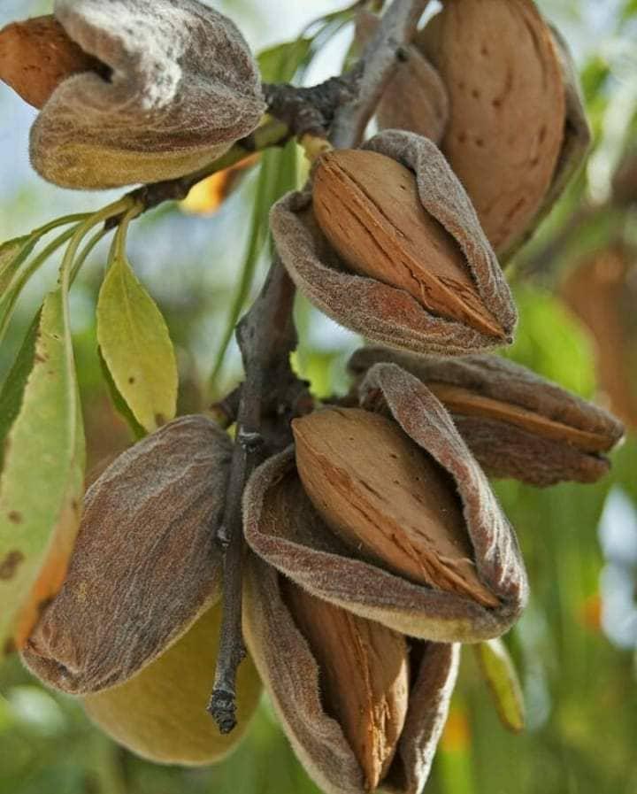 Миндаль орех Турция