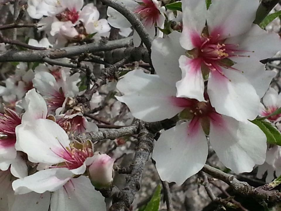Цветения миндаля в Турции